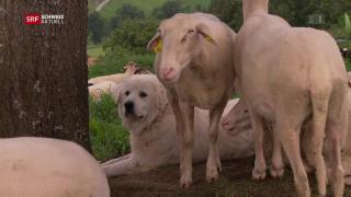 Video «Streit um Herdenschutzhunde» abspielen