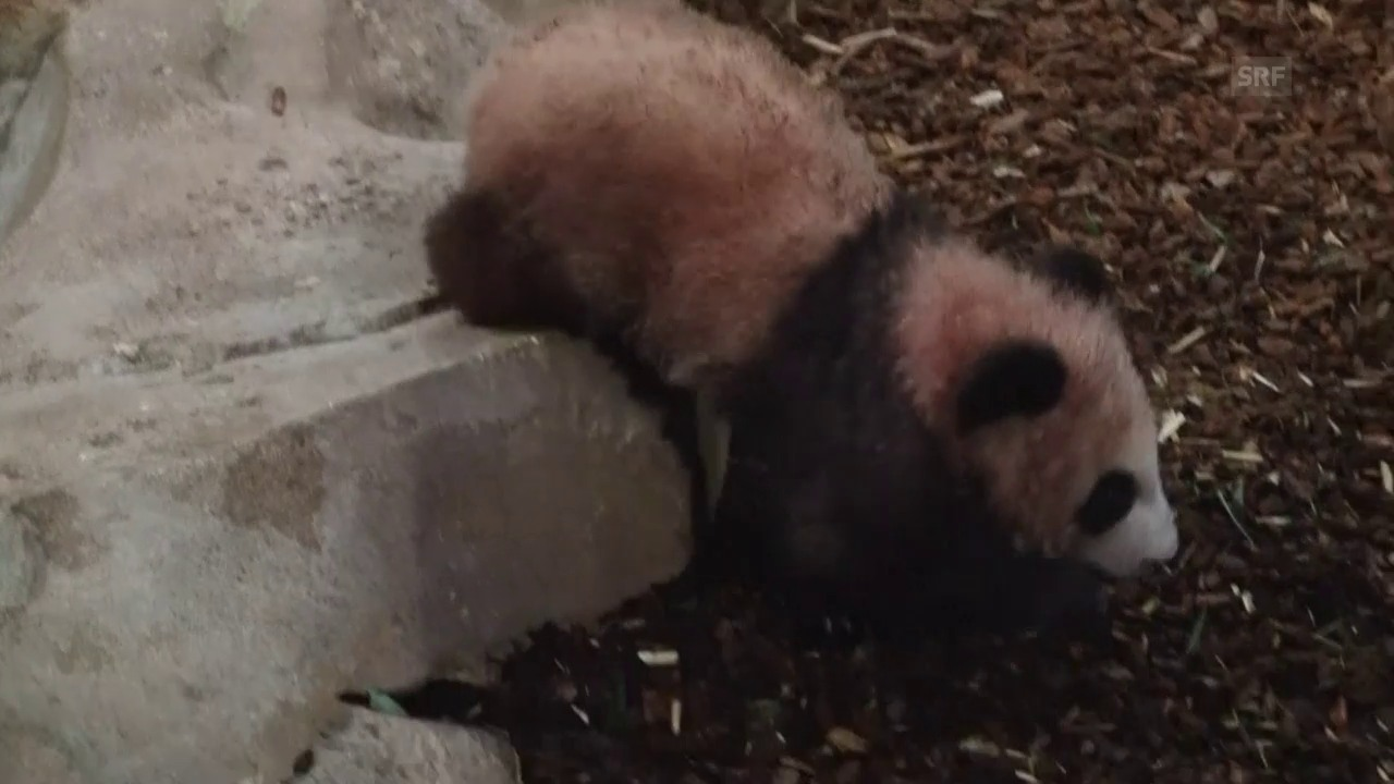 Pandababy in Beauval (unkommentiert)