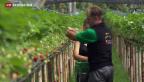 Video «Asylanten für die Landwirtschaft» abspielen