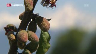 Video «Schwere Frostschäden beim Schweizer Obst» abspielen