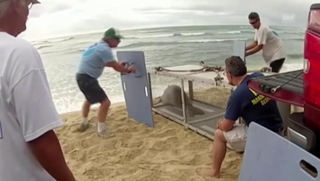 Video «Ab in die Freiheit: Nach der geglückten Rettung schwimmt die Robbe wieder im Pazifik» abspielen