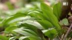 Video «Bärlauch: Heilpflanze mit Gefahren» abspielen