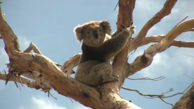 Brenzlige Zeiten für Koalas in Australien (NETZ NATUR)