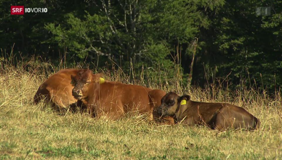Massnahmen nach Kuh-Attacken