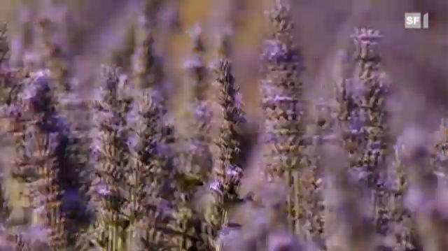 Lavendelöl bekämpft Haut- und Nagelpilz