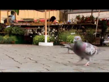 Video «Tauben als Krankheitsüberträger» abspielen