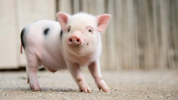 Platz 5: Eine schweinische Antwort