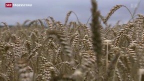 Video «Die Weizenbauern leiden unter dem Regenwetter» abspielen