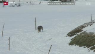 Video «Der Wolf im Flachland» abspielen