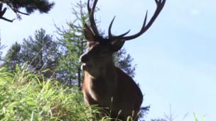 Video «Rothirsch – der König der Wälder» abspielen