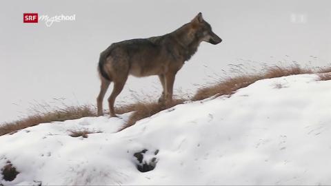 Wolf: Die vielen Wölfe der Schweiz (1/3)