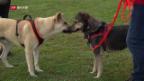 Video «Bald Schluss mit Hundehalterkurs?» abspielen