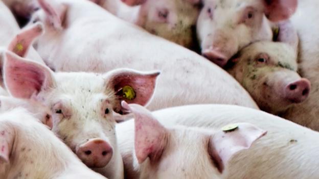 Video «Schweinefleisch aus Deutschland: So leiden die Ferkel» abspielen