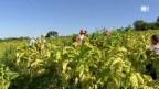 Video «Kinderarbeit beim Tabakanbau: Leiden für Zigarettenraucher» abspielen