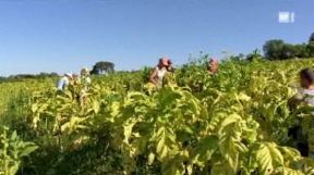 Video «Kinderarbeit beim Tabak: Leiden für Raucher» abspielen