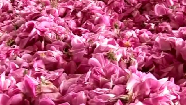 Damaszener-Rose