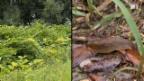 Video «Feldzug gegen eingewanderte Tiere und Pflanzen» abspielen
