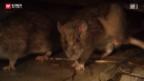 Video «Rattenplage» abspielen