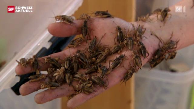 Insekten für Mutige