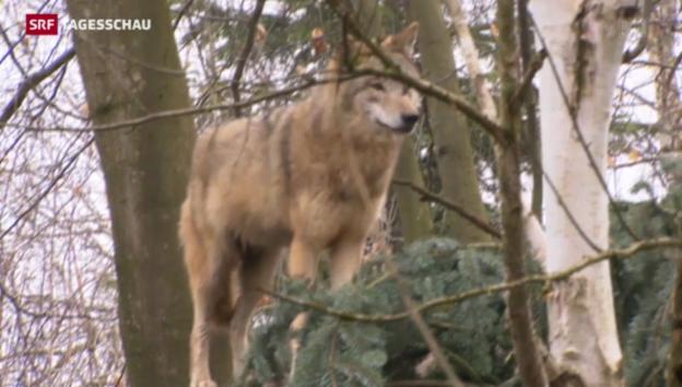 Video «Entwurf eines neuen Wolfkonzepts» abspielen