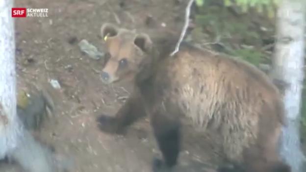 Video «Mehr Bundesgelder für Bären-Prävention» abspielen