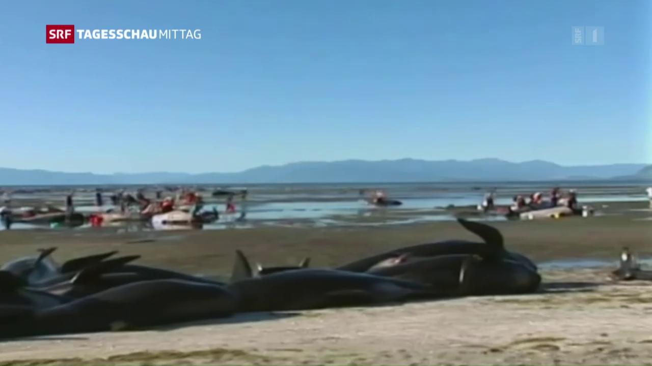 Wieder 200 Wale in Neuseelands Küste gestrandet