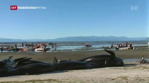 Video «Wieder 200 Wale in Neuseelands Küste gestrandet» abspielen