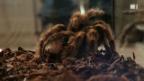 Video «Die grosse Angst vor Spinnen» abspielen