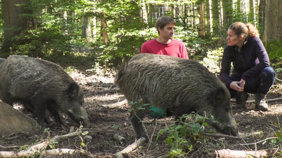 Gejagt und gefürchtet – «Einstein» bei den Wildschweinen