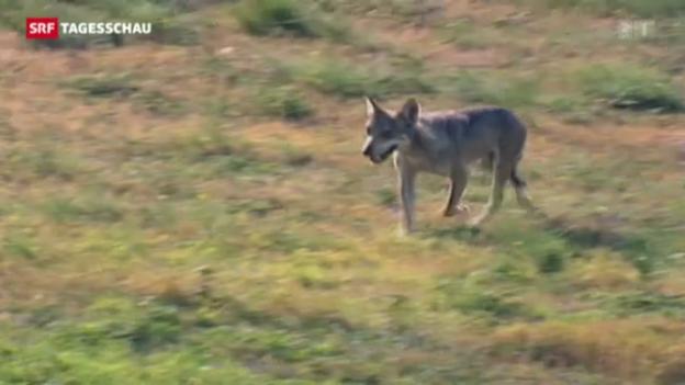 Video «Der Kanton St. Gallen wappnet sich gegen den Wolf» abspielen