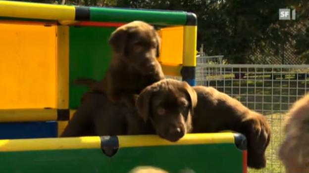Video «Erbrankheiten bei Retriever-Hunden» abspielen