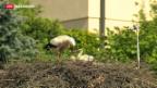 Video «Schlechtes Wetter birgt Gefahren für Tierwelt» abspielen