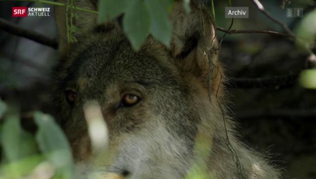 Video «Wolfsbilanz der Bergkantone» abspielen