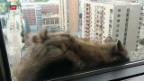 Video «Waschbär mit Aussicht» abspielen