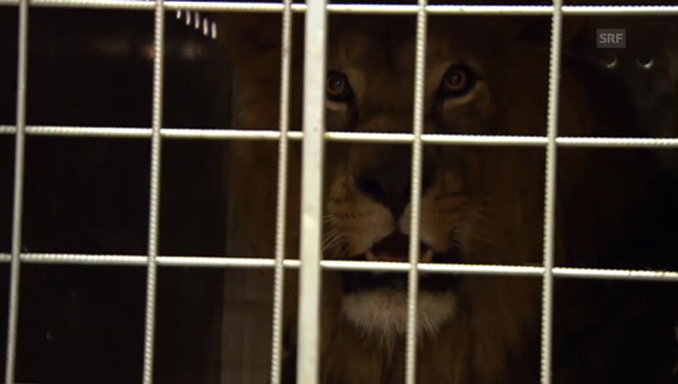 Zwischenhalt von Tigern und Löwen