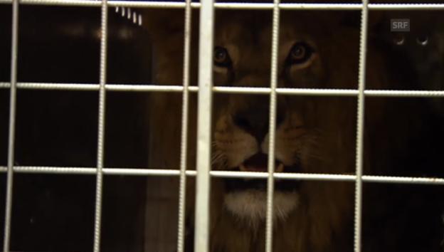 Video «Zwischenhalt von Tigern und Löwen» abspielen