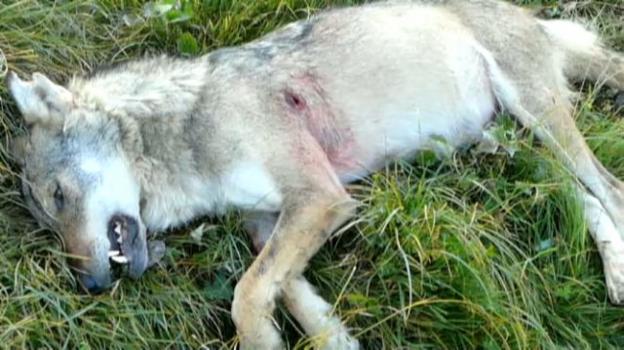 Video «Der Wolf ist tot» abspielen