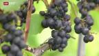 Video «Arbeitsgruppe für bessere Wein-Kontrollen im Wallis» abspielen