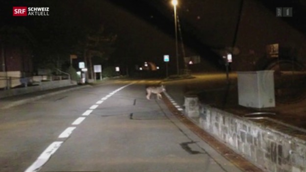 Video «Wolf riss acht Schafe» abspielen