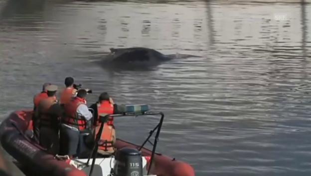 Video «Irritiert: ein kleiner Wal im Jachthafen von Buenos Aires» abspielen