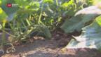 Video «Mehr Schweizer Essiggurken» abspielen