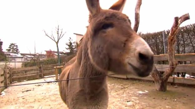 Video «Störrisch wie ein Esel» abspielen