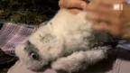 Video «Das Comeback des Wanderfalken» abspielen