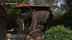 Video «Elefantendame Jenny kommt zurück nach Aarau» abspielen