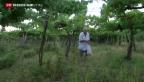 Video «Bauern wird Ernte von Flüchtlingen weggegessen» abspielen
