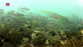 Video «Schwierige Zeiten für Schweizer Fische» abspielen