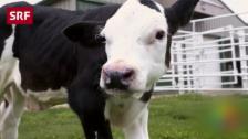 Link öffnet eine Lightbox. Video Kühe ohne Hörner – dank Genschere Crispr abspielen