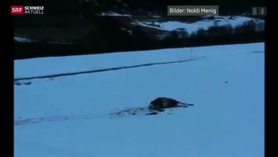 Bündner Wölfe sind im ganzen Kanton aktiv