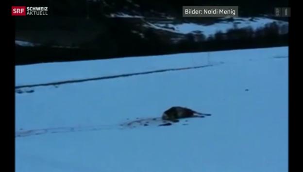 Video «Bündner Wölfe sind im ganzen Kanton aktiv» abspielen