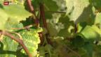 Video «Reben bringen wohl nur die halbe Ernte» abspielen